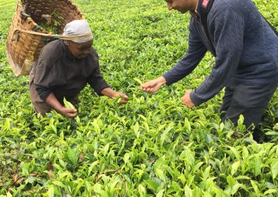 riasat tea farm
